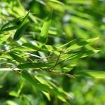Bambus überwintern