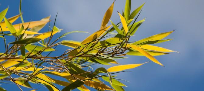 Mein Bambus hat sich gelb gefärbt. Was können die Gründe sein?