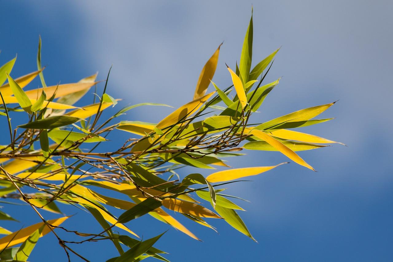 Bambus gelbe Blätter