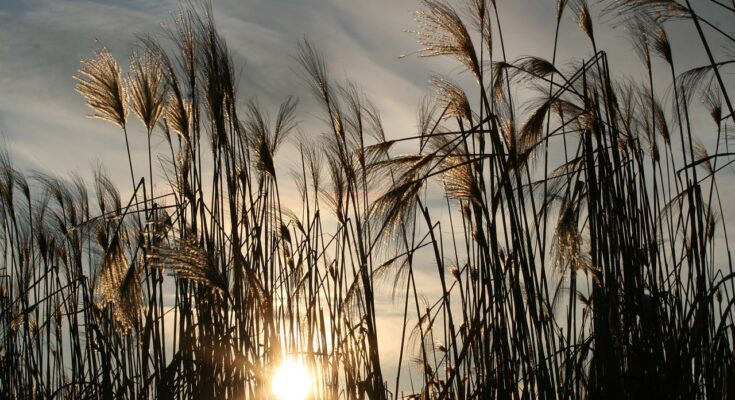 Gräser zurückschneiden