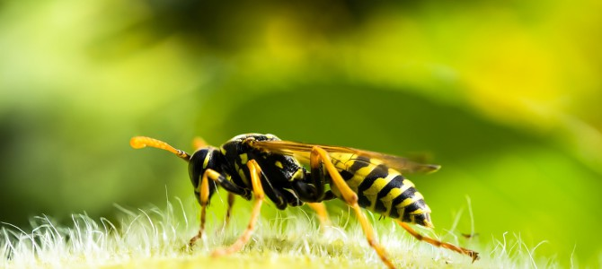 Wie vertreibt man am besten Wespen?